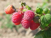 Framboise remontante